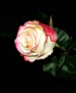 rose-on-a-dark-background